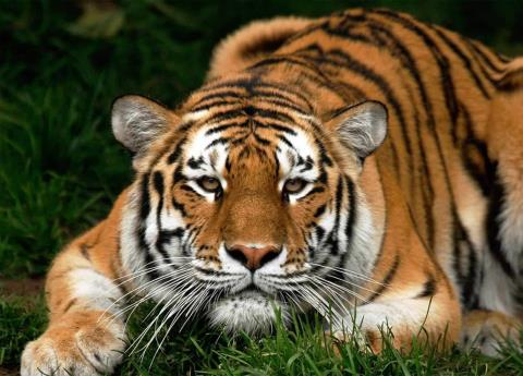 China autoriza el uso de productos de tigre y rinoceronte