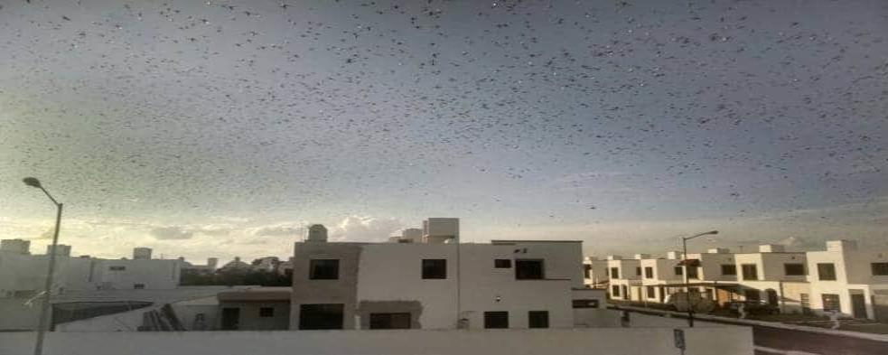 VIDEO: Miles de langostas invaden el cielo de Mérida