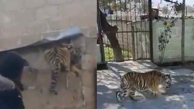 VIDEO | Captan a tigre dentro de un domicilio en Cuautepec